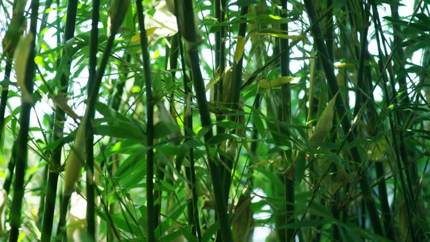 Thin Bamboo in a Garden | Shutterstock HD Video #14153882