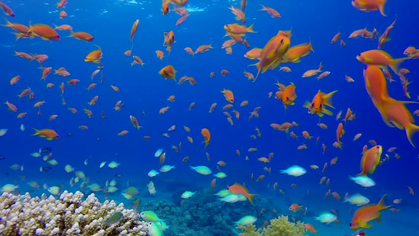 Underwater Colorful Tropical Fishes and Beautiful Corals. Picture of a wonderful and beautiful underwater colorful fishes and corals in the tropical reef of the Red Sea, Dahab, Egypt.