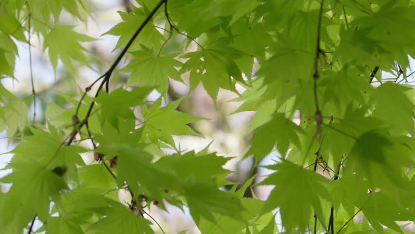 Focus change from maple leaves swaying gently in the spring breeze to cherry blossoms in the background. 4k. In slow motion.