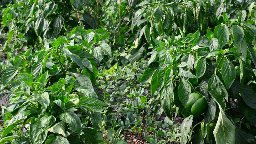 Green young peppers growing in  field or plantation | Shutterstock HD Video #14216531