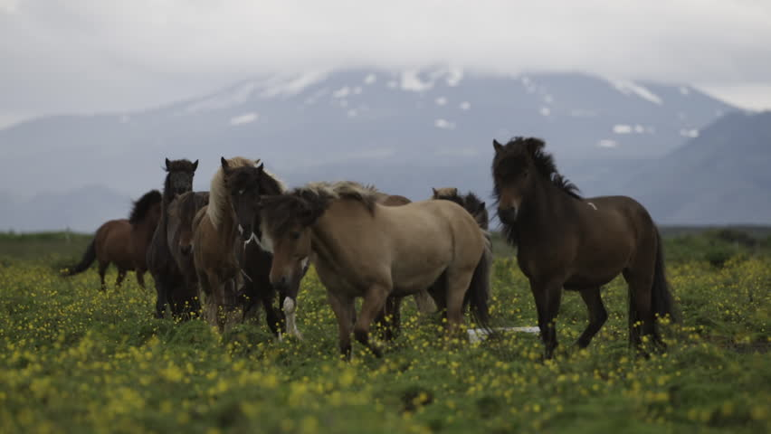 MS SLO MO SELECTIVE FOCUS Group of horses running in meadow / Skogar, Iceland - 07/10/2014 | Shutterstock HD Video #14245889
