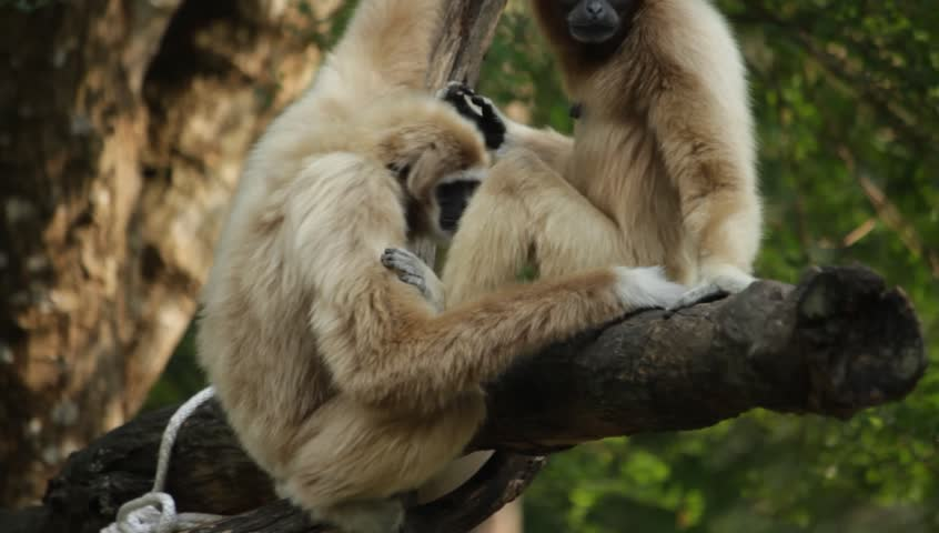 White Cheeked Gibbon in the zoo, Thailand | Shutterstock HD Video #14261711