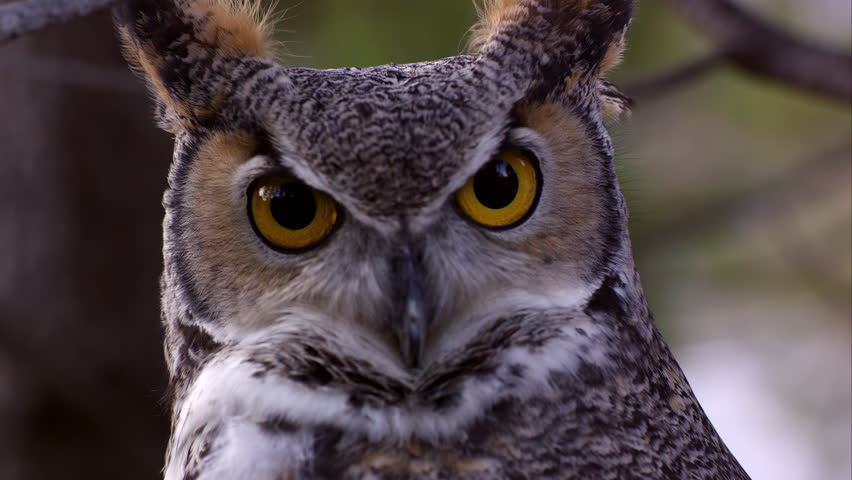 Great horned owl's head swiveling and hooting with big bright yellow eyes.