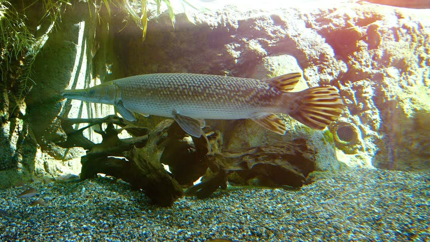 Young aligator gar. with its long snout and armored scales. swimming forward and backward in a display tank at a popular public aquarium. FullHD video