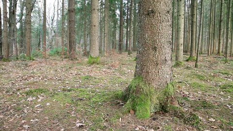 Days before spring season in the quiet conifer woods. Left to right slider dolly moving.