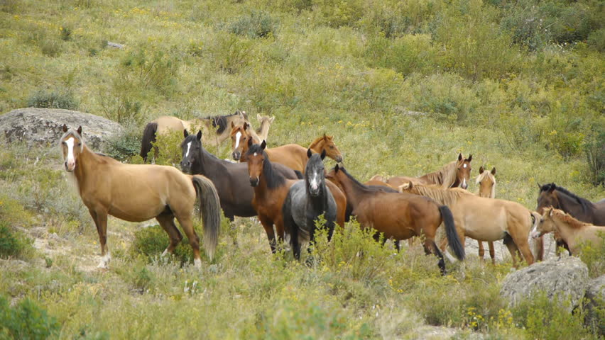 Herd of horses in the mountains | Shutterstock HD Video #1432975