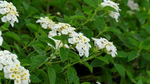 Lobularia maritima flower