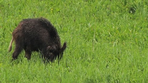 Herd of Wild Boar (Sus scrofa) with their young feed on the glade. Rainy day in the mountains.