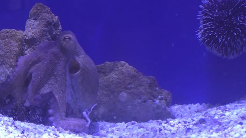 Octopus and sea urchin relaxing in an aquarium against blue background