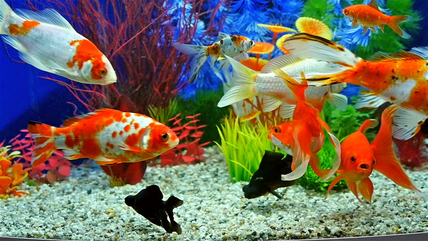 Slow Motion of Goldfish Eating Arkivvideomateriale