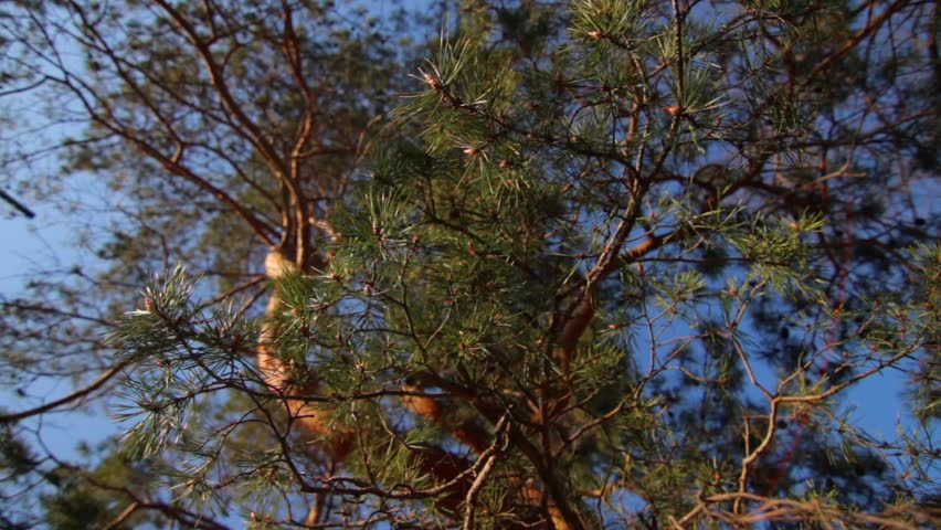 Pine branches with green needles in a park. Sunny spring day, clear blue sky. #14481148