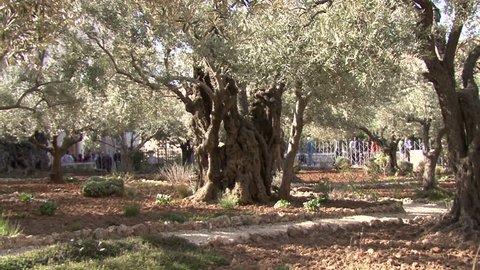 Garden of Gethsemane. Jerusalem. Israel. The Church of All Nations.