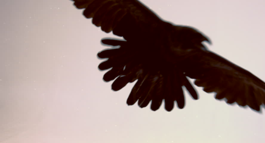 Flight of a black raven on a white background. Royalty-Free Stock Footage #14548471