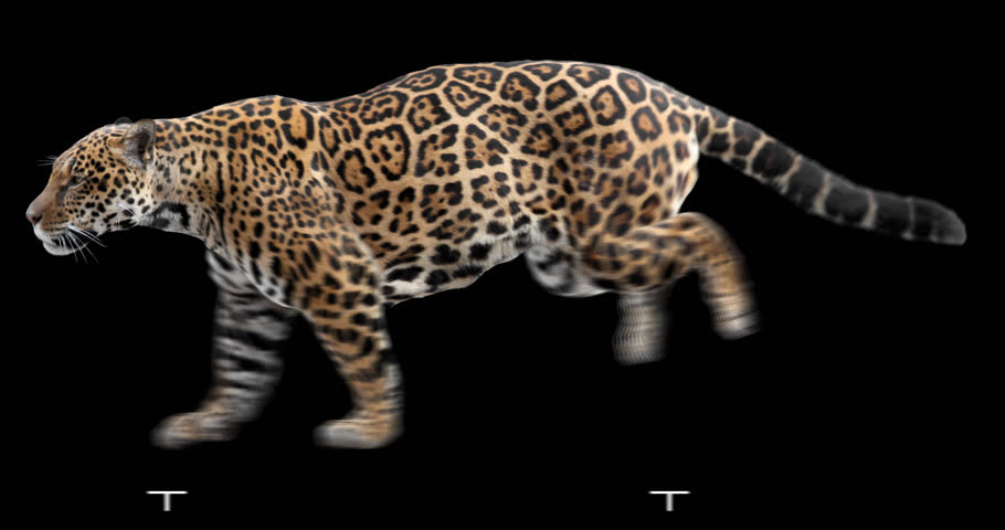 Jaguar running. Isolated and cyclic animation. Alpha channel.