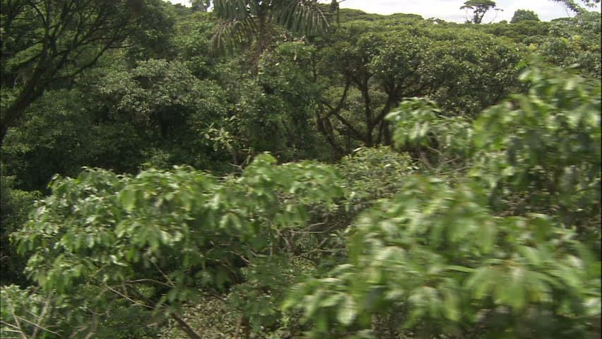 Aerial Dolly Shot of Lush Costa Rican Jungle Canopy