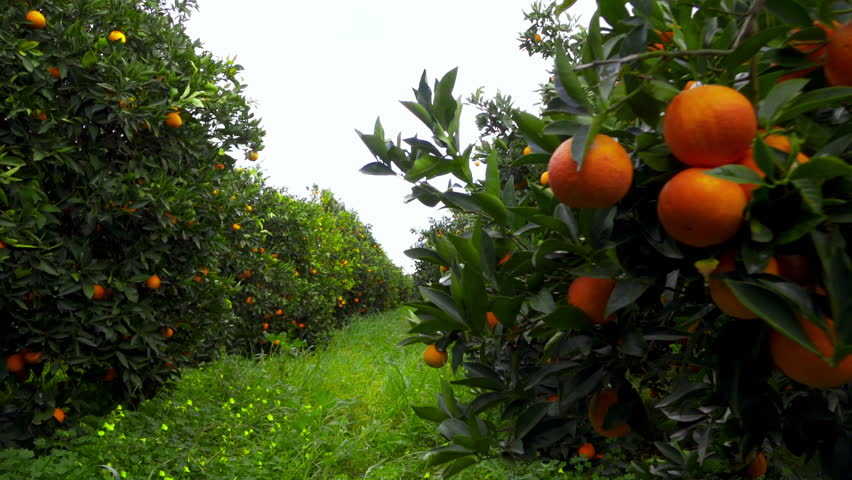 100p walking through an orange grove fruit hanging from trees,steadicam/gimbal.100 frames per second low angle tracking in clip inside an orange grove in southern Greece.Oranges hanging from the trees