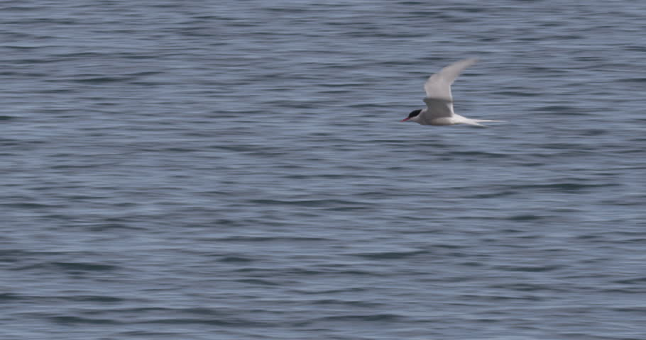Slow motion of arctic tern flying with water in background A008 C094 0713EI 001
