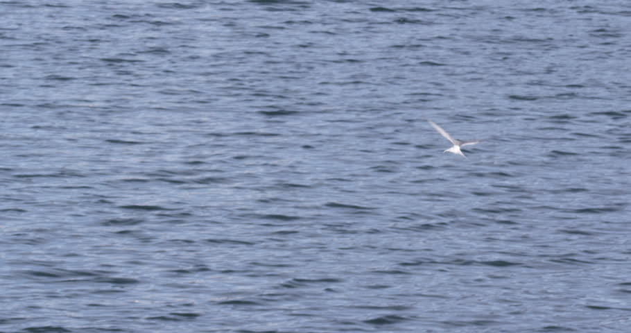 Slow motion shot of arctic tern working the sea looking for fish near Aselund and diving into water. A008 C095 0713DM 001 A