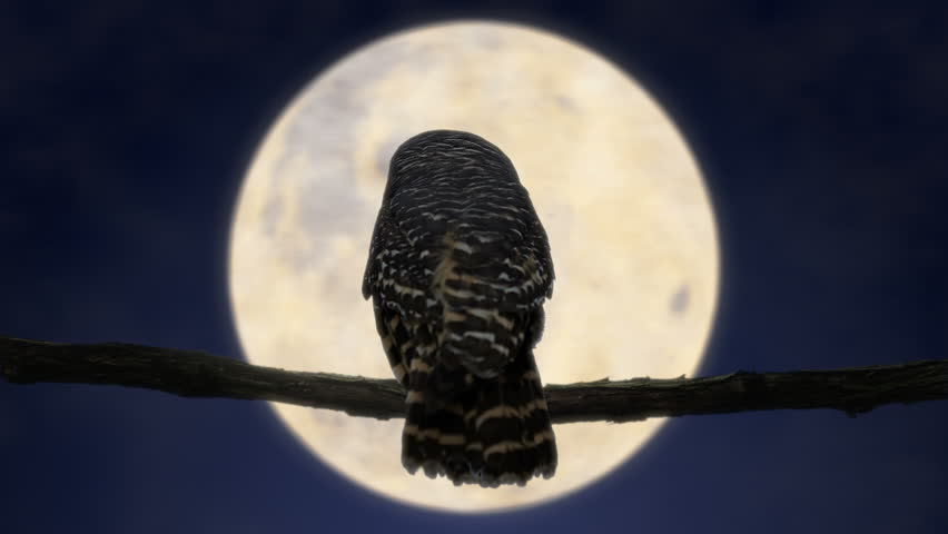 Owl at Night with Full Moon (4K)  Owl in the night looking and turning head in front of the full moon. Full 4K combination of filmed owl and filmed full moon.