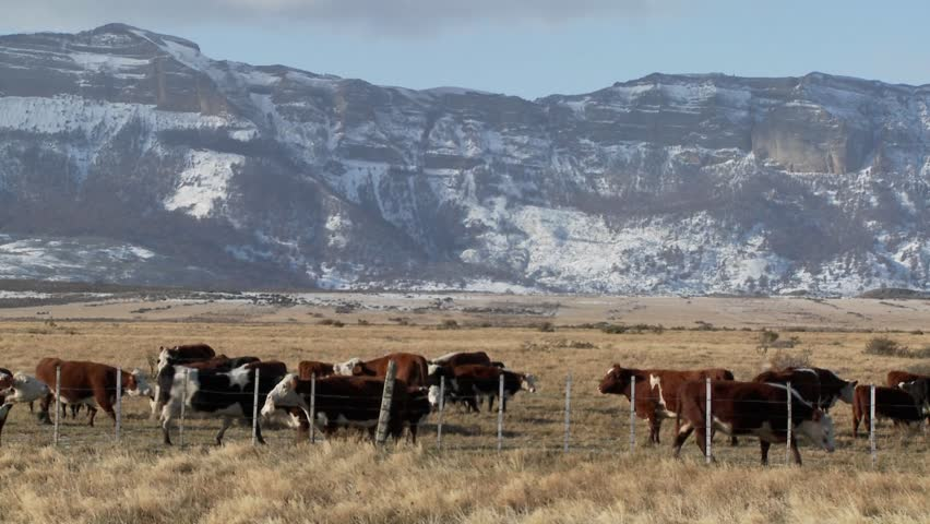 Cattle graze in the fields on a ranch with snowy mountains background.
