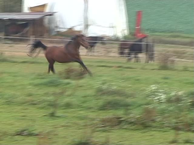 A black horse galloping playfully on pastureland.
