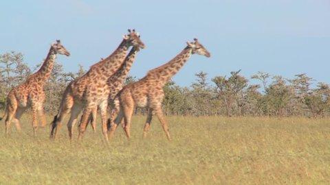 Giraffes walk through golden grasslands in Africa.