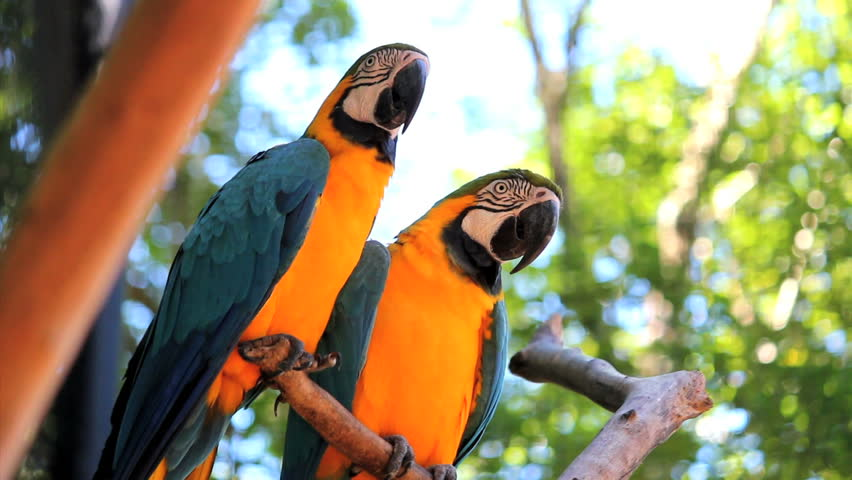 Couple. Blue Yellow Macaw. Arara. Ararauna. Brazil. Birds
