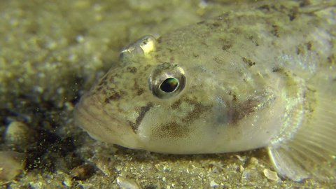 Portrait of partially buried Sand goby through which creep hermit crabs, close-up.