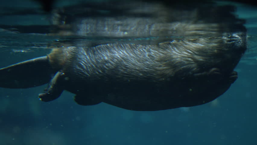 Canadian Beaver Swimming Under Water - Aquatic Rodent in Lake
