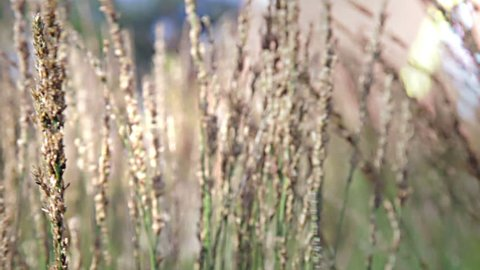 Grasses swaying in wind on a summers day.