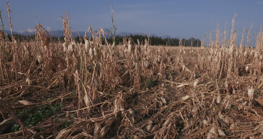 4K moving shot of corn fields devastated by drought and hail. Climate change and global warming Royalty-Free Stock Footage #14903134