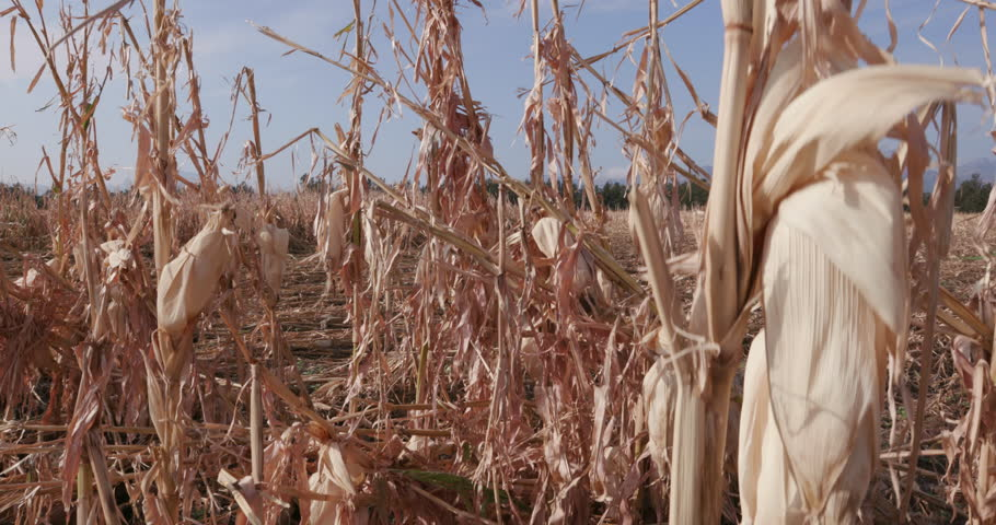 4K Moving shot of corn fields devastated by drought and hail   | Shutterstock HD Video #14903233