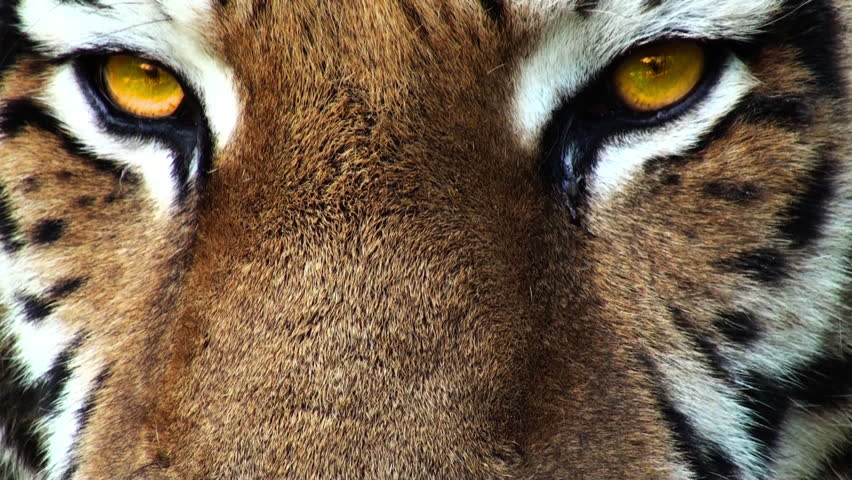Tiger head with yellow eyes, artificial colored, progressive, apple prores 422HQ | Shutterstock HD Video #14930116