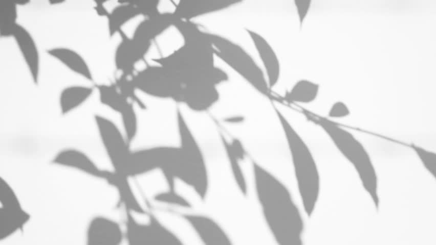 Silhouette shadow of leaves motion by natural wind on white wall #14985157