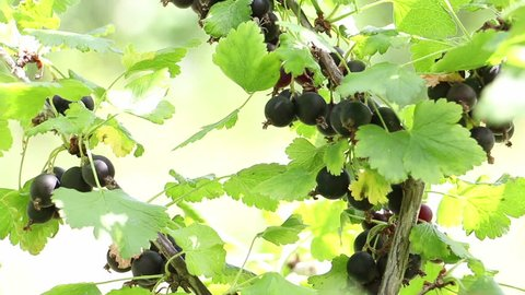 Currant on a Branch