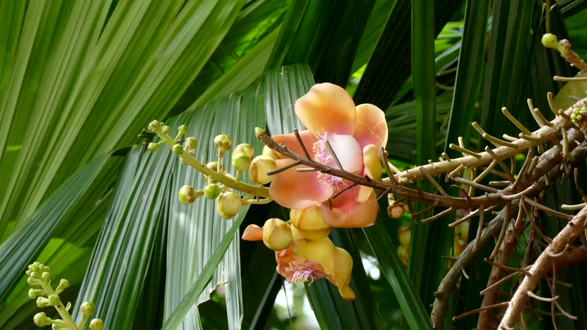 Couroupita guianensis, known by several common names, including cannonball tree, is a deciduous tree in the family Lecythidaceae, which also contains the Brazil nut and Paradise nut Lecythis zabucajo | Shutterstock HD Video #15095323