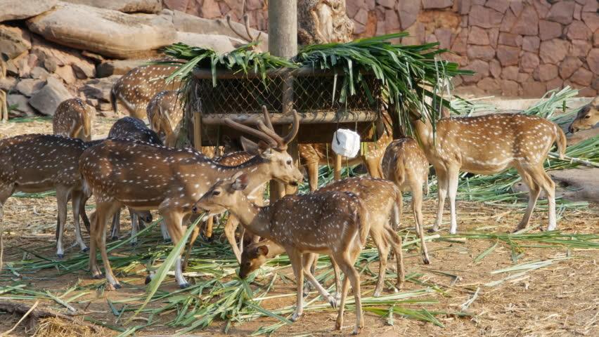 Chital, Cheetal, Spotted deer, Axis deer eating grass | Shutterstock HD Video #15097918