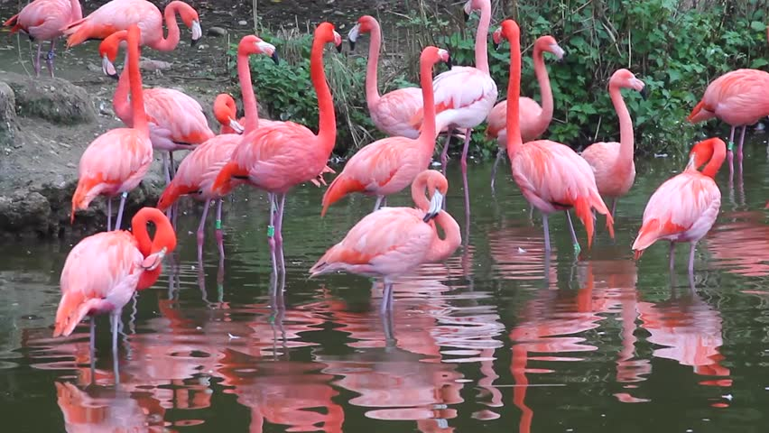 Pink Flamingos With Stock Footage