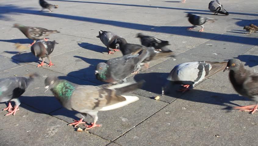 Flock of urban pigeons eating bread thrown down on Istanbul street. Flock of Pigeon   | Shutterstock HD Video #15139183