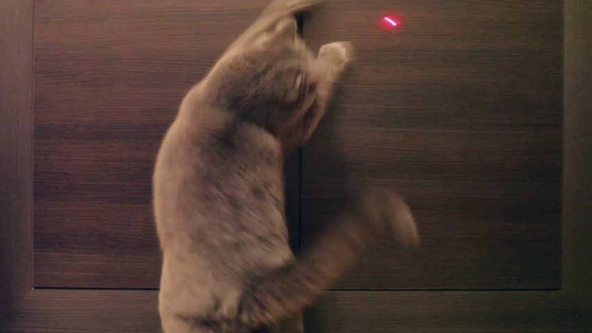 British Cat Playing With Red Dot. Wood Background. #15207562