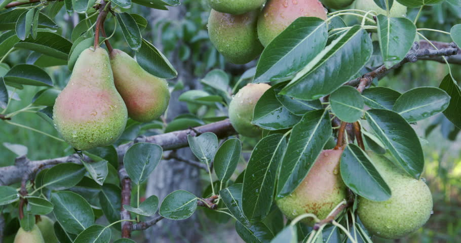4K Bunch of pears growing on a fruit tree on a large scale commercial fruit farm | Shutterstock HD Video #15266614
