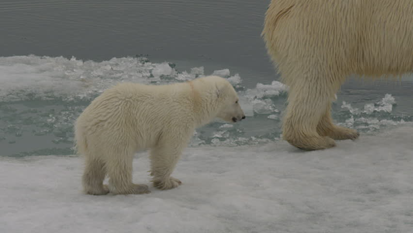 Slow motion - close shot of young polar bear cub walking through the slushy summer sea ice as it follows its mother on an arctic summer day - A014 C051 0718BL 001 A