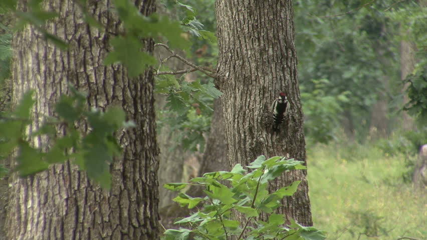 Great spotted woodpecker looking for insects during heavy storm in oak forest, spring time | Shutterstock HD Video #15360988