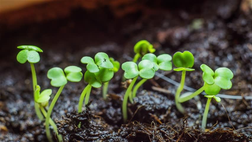 Arugula Sprouts. Seedling plants. Time-lapse - Fast Growing.  | Shutterstock HD Video #15392038
