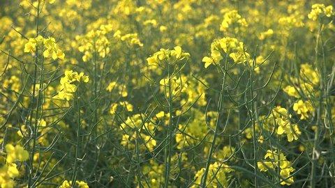 Yellow rape flowers field, sunny day, golden nature