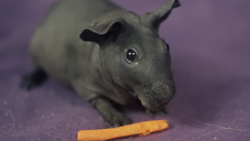 Skinny Pig Guinea Pig Care and Keeping Hairless Guinea Pigs