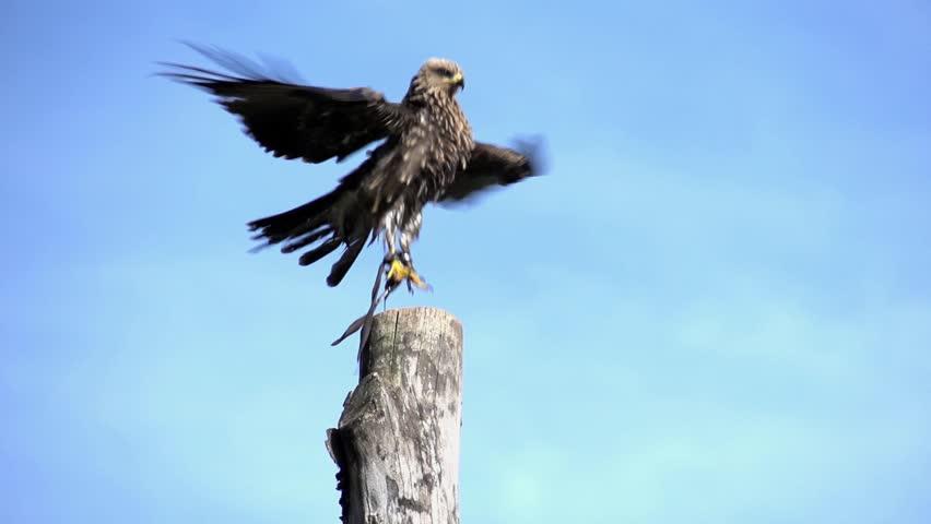 Falcon bird flying in slow motion. hawk eagle close up. wildlife animal background