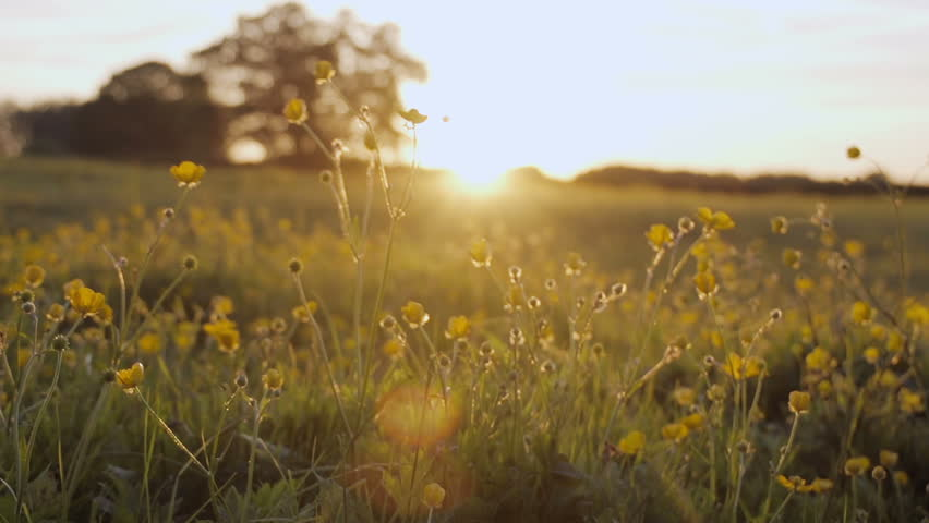 A slow motion shot of a camera moving through a buttercup meadow at sunset