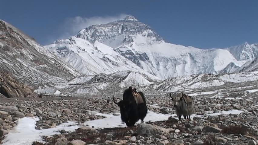 Yaks walking towards Everest base camp with Mt. Everest in the background