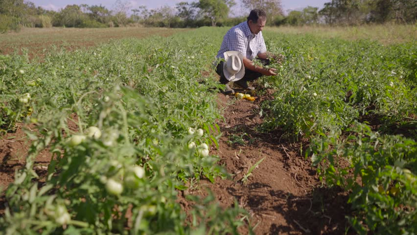 Farming and cultivations in Latin America. Farmer walking in tomato field, inspecting the quality of plants and vegetables. He checks that there are no pest on leaves. Low angle, dolly shot.